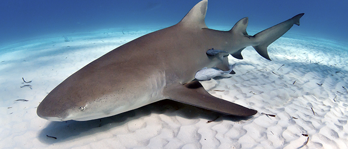 Lemon Shark Guide
